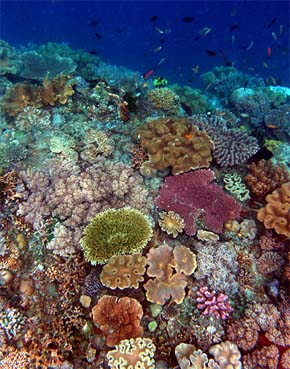 Coral reef in Timor, courtesy of David Guggenheim