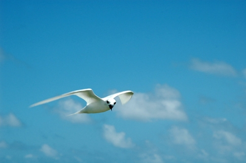 Fairy Tern, McKean Island in the Phoenix chain